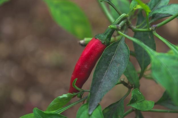 Czerwony papryka chili