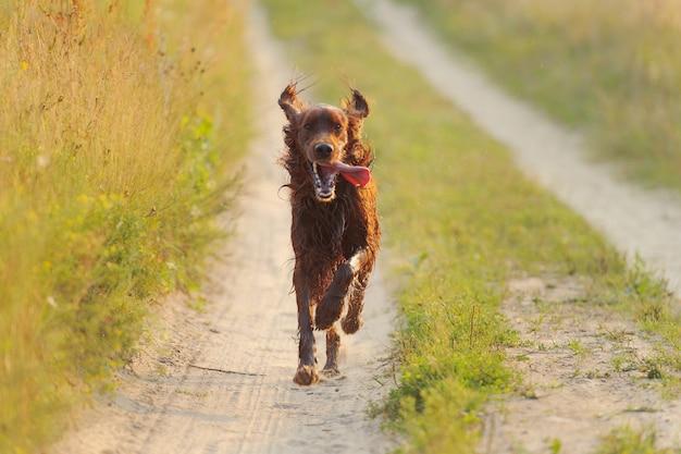 Czerwony pies biegnący na tle zielonej trawie i zachodzie słońca, na zewnątrz, poziome
