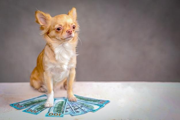 Czerwony pies chihuahua siedzi, na dolarach.