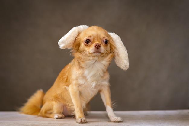 Czerwony pies chihuahua siedzi, na głowie ma ozdobę, uszy królika.