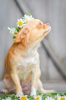 Czerwony pies rasy chihuahua siedzi, kaganiec do góry, na głowie wieniec stokrotek, na szarym tle drewnianych.