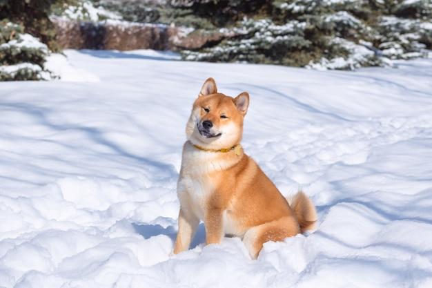 Czerwony pies shiba inu bawi się i biega
