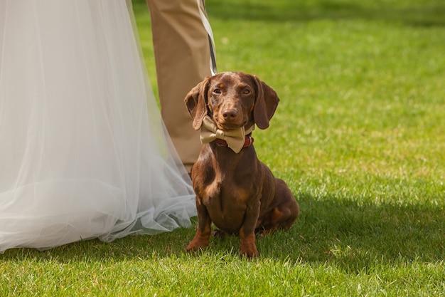 Czerwony pies w krawacie motyla na weselu