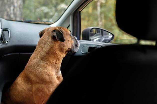 Czerwony pies w samochodzie jest zamknięty. ochrona. wolne miejsce na tekst