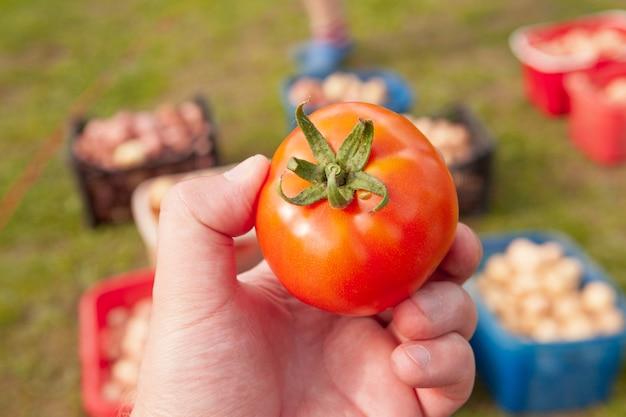 Czerwony pomidor w ręce mężczyzny i świeże zdrowe jedzenie