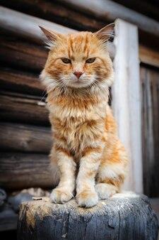 Czerwony poważny kot
