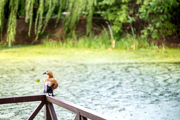 Czerwony ptak kaczka siedzi na drewnianej poręczy molo na powierzchni wody jeziora z zielonymi wierzbami powierzchni