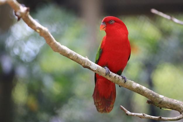 Czerwony ptak macore na gałęzi drzew tropikalnych w dżungli, wildlife jest rzadkie i zagrożone.
