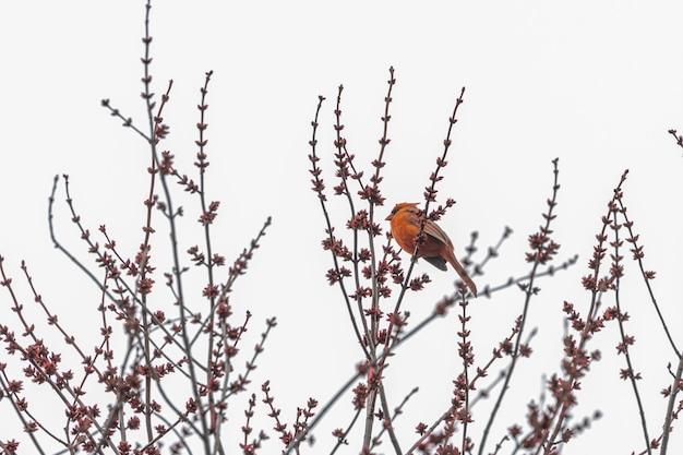 Czerwony ptak na gałęzi drzewa
