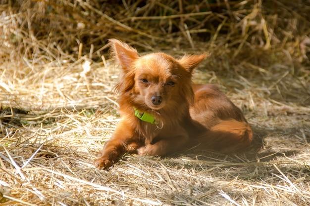 Czerwony rosyjski długowłosy toy terrier leżący na ziemi na świeżym powietrzu