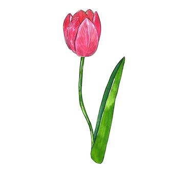 Czerwony różowy tulipan z liściem. ręcznie rysowane ilustracji akwarela i tusz. odosobniony.