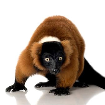 Czerwony ruffed lemur na bielu