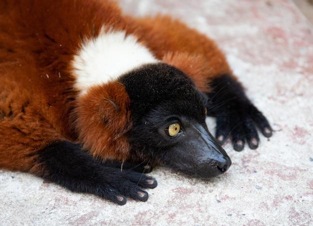 Czerwony ruffed lemur odpoczywa na kamieniu