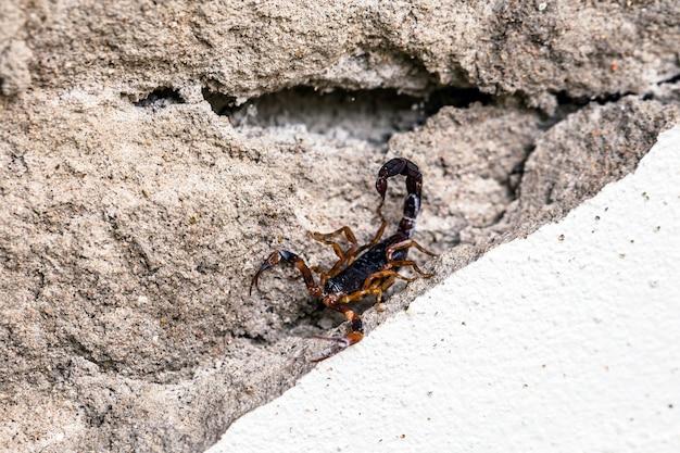 Czerwony skorpion na ziemi w pozycji bojowej, niebezpieczeństwo w pomieszczeniu