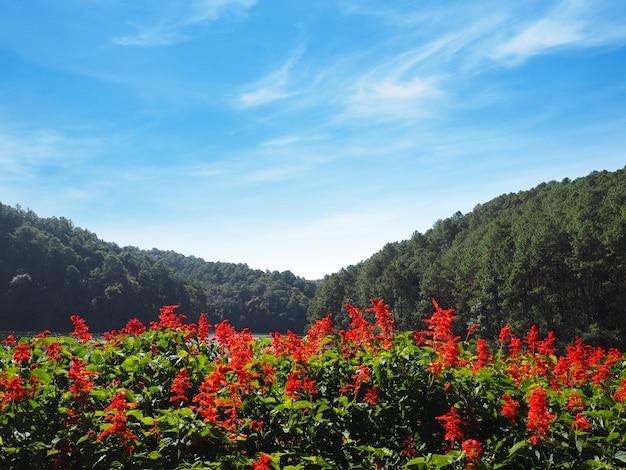 Czerwony szałwia kwiat przy ssanie w żołądku oung, jezioro w mae hong synu, północny tajlandia