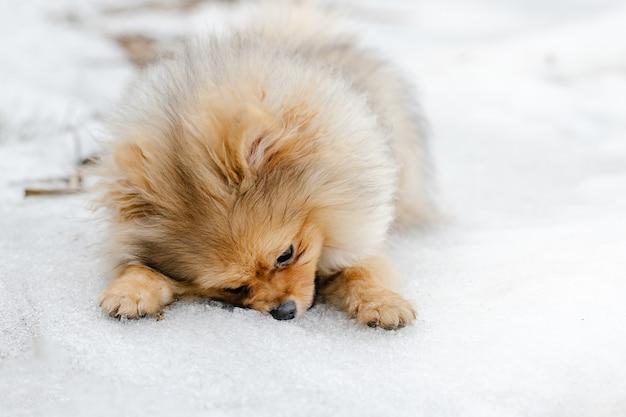 Czerwony szczeniak pomorskie rasy na zewnątrz w zimie