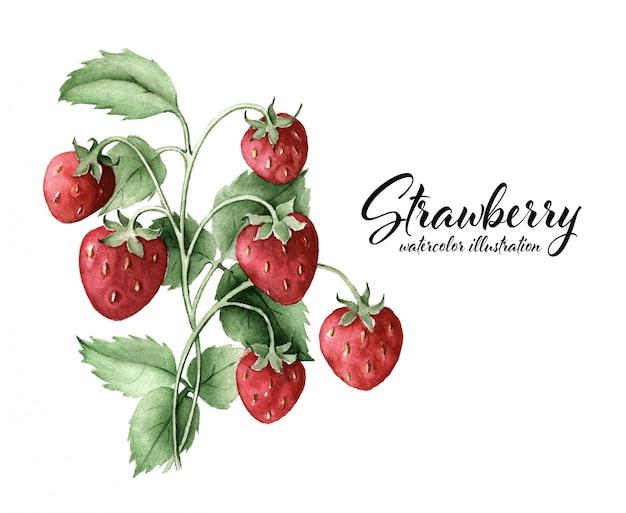 Czerwony truskawkowy krzak odizolowywający na białej tło akwareli botanicznej ilustraci