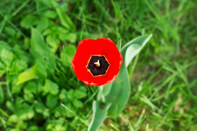 Czerwony tulipan na trawie