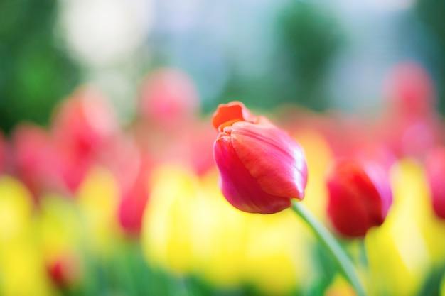 Czerwony tulipan w ogrodzie.