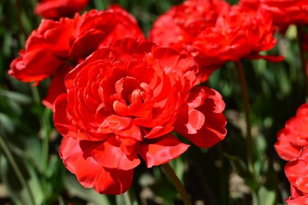 Czerwony tulipanu zakończenie zasadzający w ogródzie