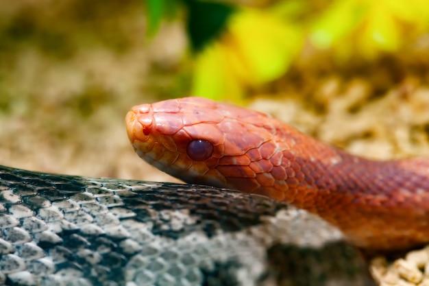 Czerwony wąż kukurydziany