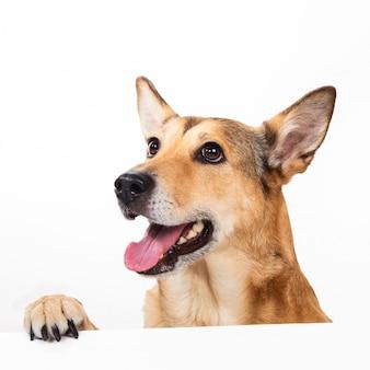Czerwony włosianego psa obsiadanie, patrzejący na boku, odizolowywający na bielu