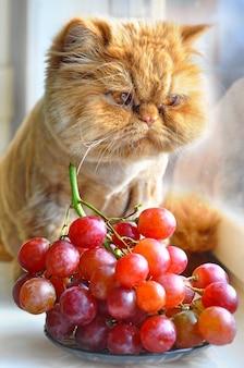 Czerwony zabawny kot perski siedzi na parapecie i je czerwone winogrona