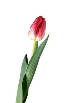 Czerwony. zamknij się piękny świeży tulipan na białym tle. miejsce na reklamę. organiczny, kwiatowy, wiosenny nastrój, delikatne i głębokie kolory płatków i liści. wspaniały i chwalebny.