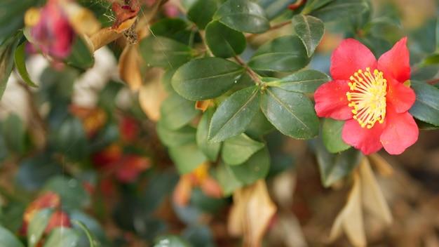 Czerwony żółty kwiat kamelii kwiat, naturalny botaniczny bliska tło. szkarłatny egzotyczny kwiat w ogrodzie, ogrodnictwo domowe w kalifornii, usa. żywa flora i bujne liście. żywe soczyste kolory roślin.