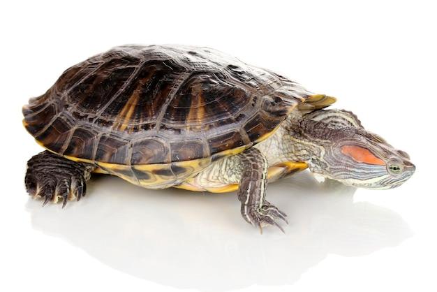 Czerwony żółw ucha na białym tle