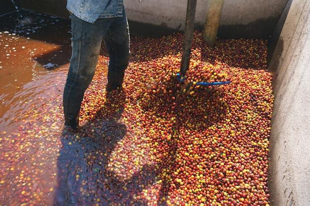 Czerwonych jagod kawowej fasoli proces w fabryce