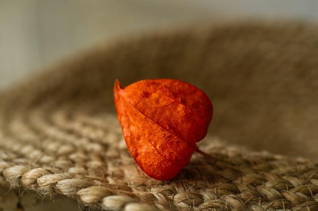 Część rośliny physalis peruviana na białym tle na powierzchni. roślina physalis. chiński owoc. pęcherzyca owoców pomarańczy. zbierz pęcherzycę
