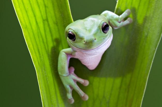 Cześć. zielona drzewna żaba na liściu