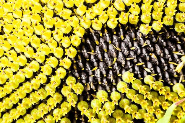 Częściowo dojrzały słonecznik z nasionami - część słonecznika z dojrzałymi nasionami. zbliżenie.