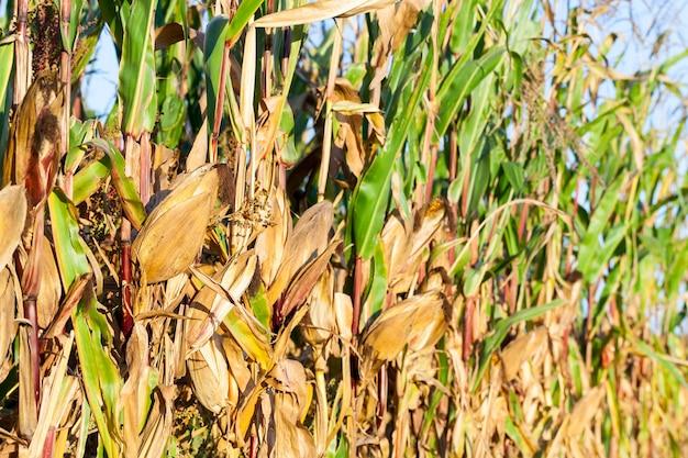 Częściowo pożółkłe dojrzałe ziarna kukurydzy na polu uprawnym. photo makro pomarańczowych kolb i zielonych roślin liściastych. skoncentruj się na pierwszym planie, małej głębi ostrości
