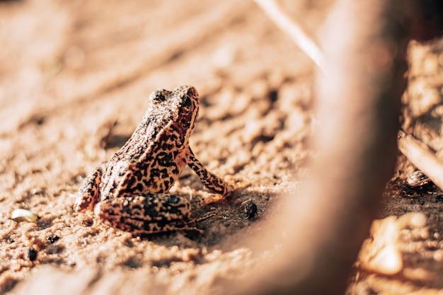 Częściowo zamazany obraz żółto-czarnej żaby jeziornej siedzącej na piasku w słońcu