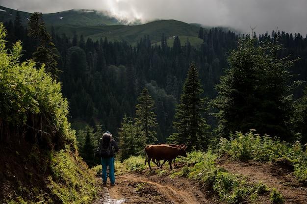 Człowiek i krowy stojące na wzgórzu na tle gór porośniętych lasami