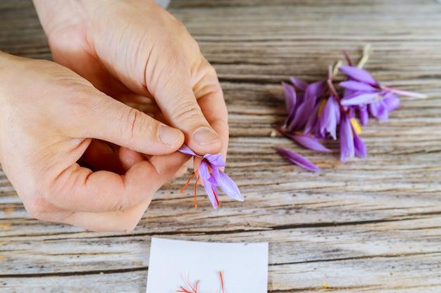 Człowiek oddziela pręciki od szafranu kwiatowego. przyprawa.