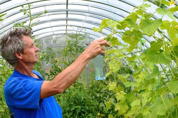 Człowiek opryskiwania roślin ogórka w szklarni na choroby.