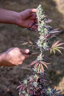 Człowiek ręce cięcia big i kolorowe pączek marihuany na białym tle z niewyraźne tło rośliny guma do żucia sativa. zdjęcie pionowe