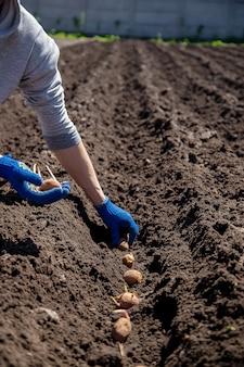 Człowiek sadzący ziemniaki w ziemi