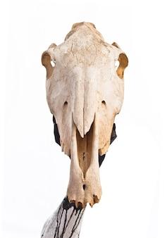 Człowiek trzyma czaszkę konia