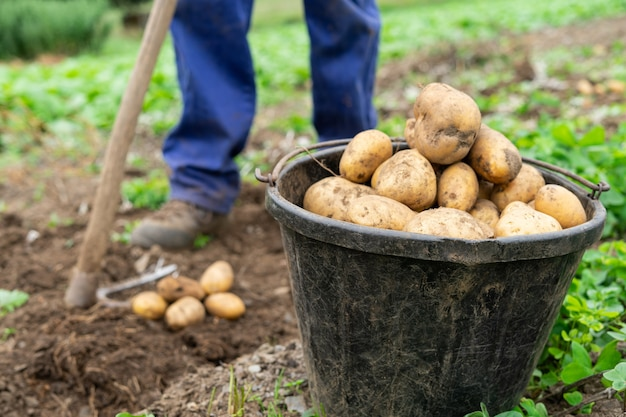 Człowiek z wiadrem pełnym świeżo zebranych ziemniaków pojęcie rolnictwa
