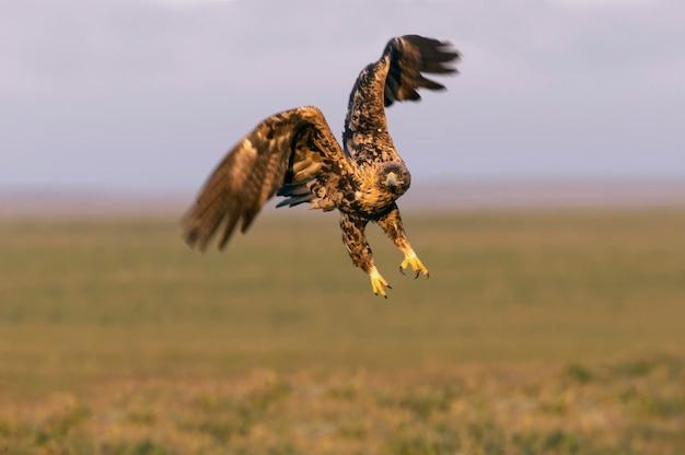 Czteroletni samiec orzeł cesarski hiszpański lecący z pierwszym blaskiem świtu