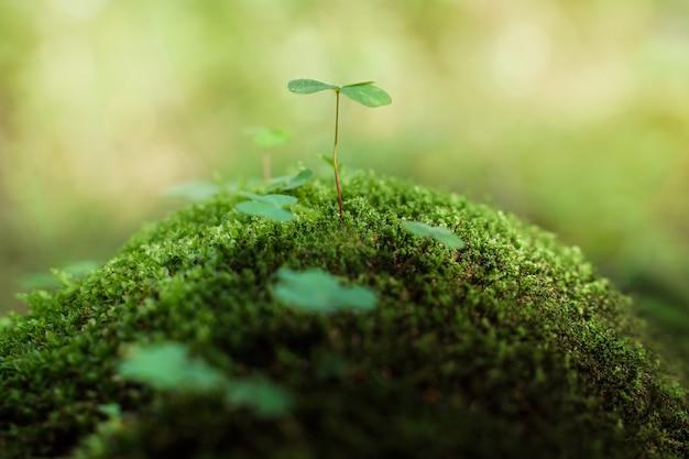 Czterolistna koniczyna na szczęście rośnie na zielonym mchu w letnim lesie patricks day closeup shot