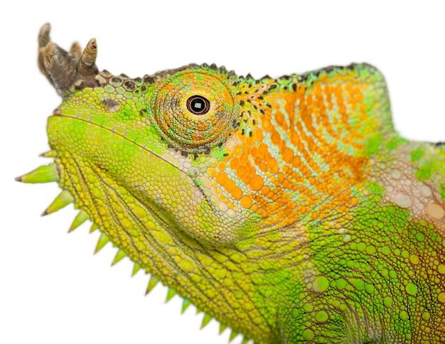 Czterorogi kameleon - chamaeleo quadricornis