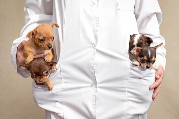 Cztery małe szczeniaczki siedzą w kieszeniach weterynarza w białym fartuchu.