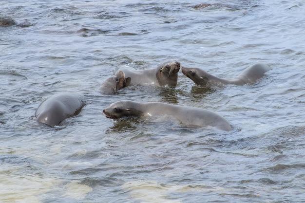 Cztery młode lwy morskie z kalifornii pływają i bawią się na oceanie spokojnym