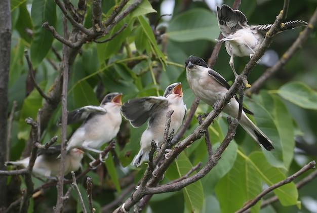 Cztery pisklęta gąsiorka szarego (lanius minor) zostały sfotografowane z pełnym ujęciem na gałęzi drzewa podczas karmienia przez rodziców. zabawne i nietypowe sytuacje