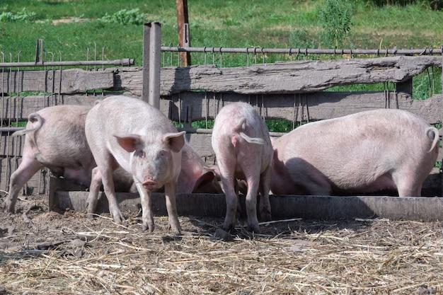 Cztery prosięta stoją nogami w karmniku w letnim chlewie